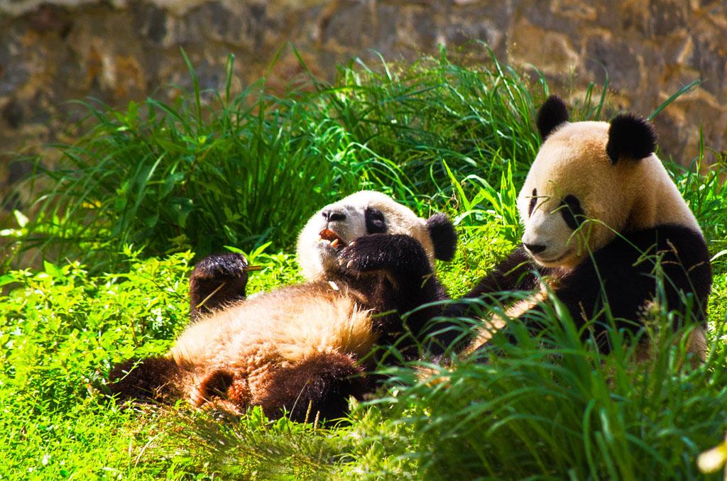 Dujiangyan Panda Base & Dujiangyan Irrigation System | Chengdu Panda Tour
